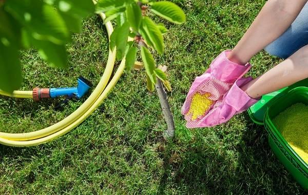 Черешня-растение-Описание-и-особенности-сорта-польза-и-вред-уход-и-выращивание-черешни-24