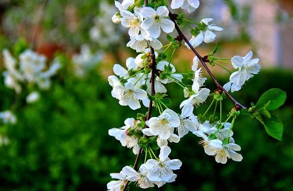 Черешня-растение-Описание-и-особенности-сорта-польза-и-вред-уход-и-выращивание-черешни-5
