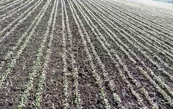 Гречиха-растение-Описание-особенности-виды-сорта-выращивание-и-свойства-гречихи-17