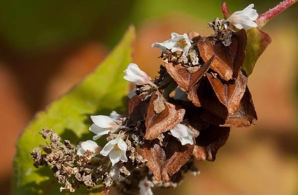 Гречиха-растение-Описание-особенности-виды-сорта-выращивание-и-свойства-гречихи-4