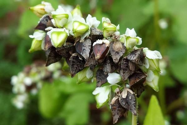 Гречиха-растение-Описание-особенности-виды-сорта-выращивание-и-свойства-гречихи-5
