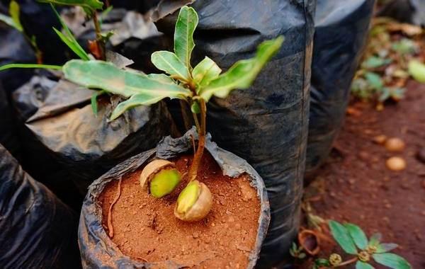Макадамия-орех-из-Австралии-Свойства-польза-и-вред-происхождение-и-цена-макадамии-5