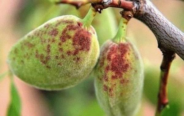Почему-опадают-плоды-фруктовых-деревьев-и-что-делать-чтобы-спасти-урожай-5
