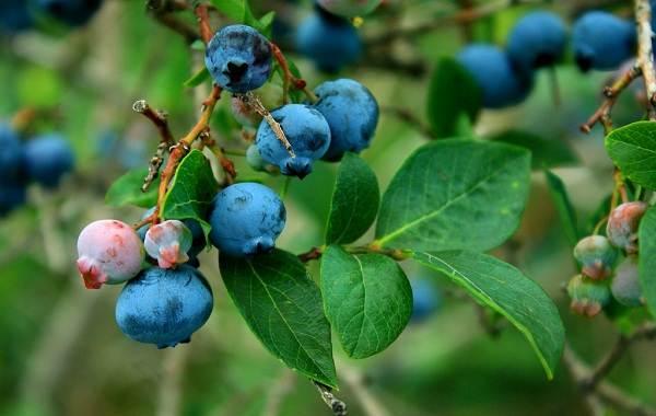 Черника-ягода-Описание-и-особенности-свойства-виды-и-сорта-уход-и-выращивание-черники-14