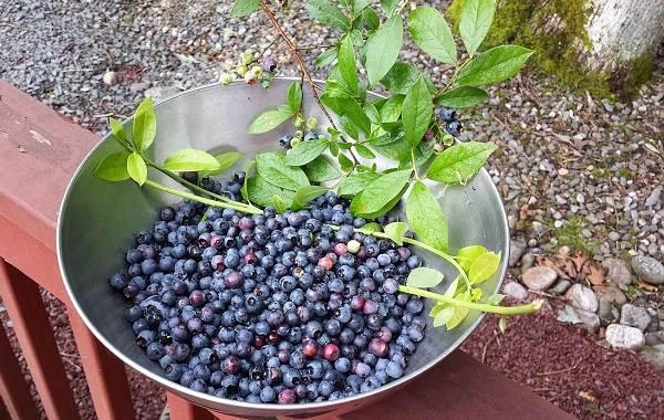 Черника-ягода-Описание-и-особенности-свойства-виды-и-сорта-уход-и-выращивание-черники-16