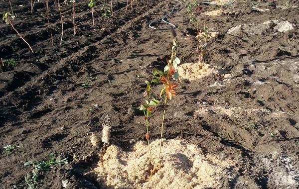Голубика-ягода-Описание-особенности-полезные-свойства-и-выращивание-голубики-12