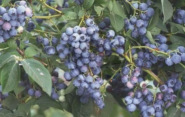 Голубика-ягода-Описание-особенности-полезные-свойства-и-выращивание-голубики-7