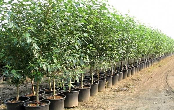 Ирга-ягода-Описание-особенности-сорта-свойства-и-выращивание-ирги-14