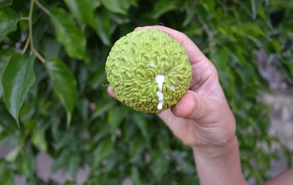 Маклюра-или-адамово-яблоко-Описание-особенности-свойства-и-рецепты-из-маклюры-11