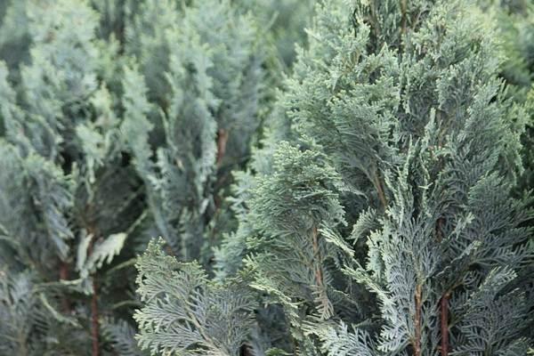 Кипарисовик-растение-Описание-и-особенности-виды-и-сорта-выращивание-и-уход-за-кипарисовиком-12