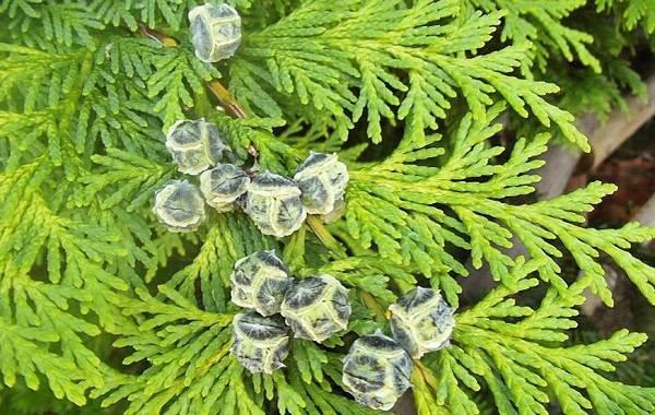 Кипарисовик-растение-Описание-и-особенности-виды-и-сорта-выращивание-и-уход-за-кипарисовиком-23