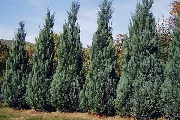 Кипарисовик-растение-Описание-и-особенности-виды-и-сорта-выращивание-и-уход-за-кипарисовиком-24