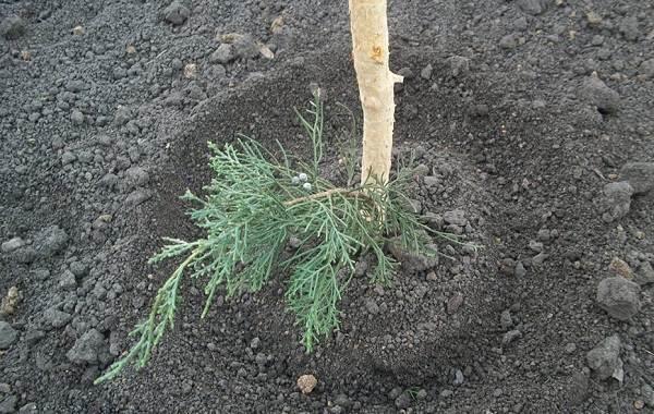 Кипарисовик-растение-Описание-и-особенности-виды-и-сорта-выращивание-и-уход-за-кипарисовиком-31