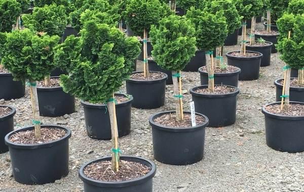 Кипарисовик-растение-Описание-и-особенности-виды-и-сорта-выращивание-и-уход-за-кипарисовиком-8