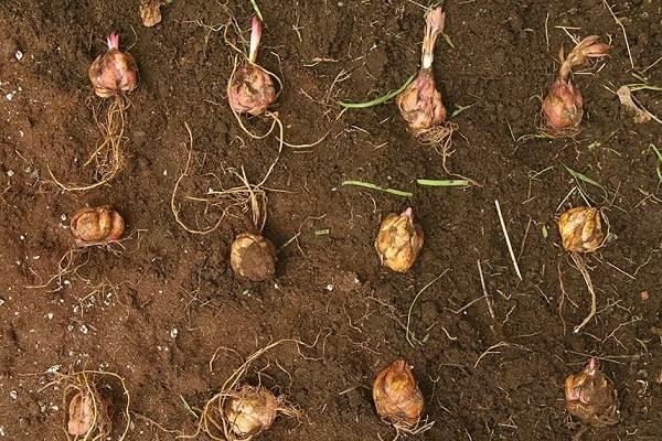Саранка-цветок-Описание-особенности-виды-сорта-выращивание-и-цена-саранки-18