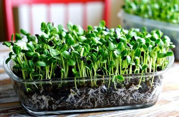 Что-такое-микрозелень-Описание-особенности-выращивание-и-полезные-свойства-9