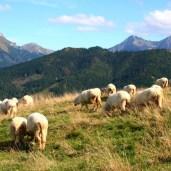s.Owce
