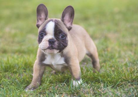 """Képtalálat a következőre: """"francia bulldog kölyök"""""""