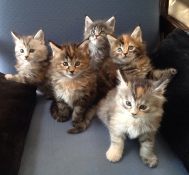 Mainecoon Kittens May 2015