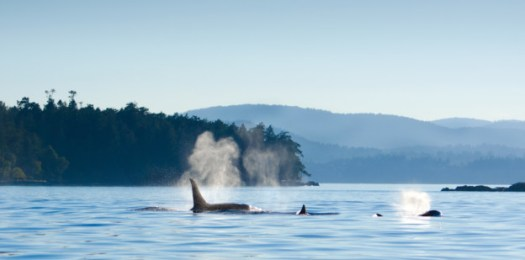 Whale watching activity around Vancouver Island, Victoria, B.C. Canada.