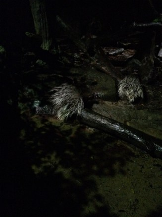 Malaysian porcupines!