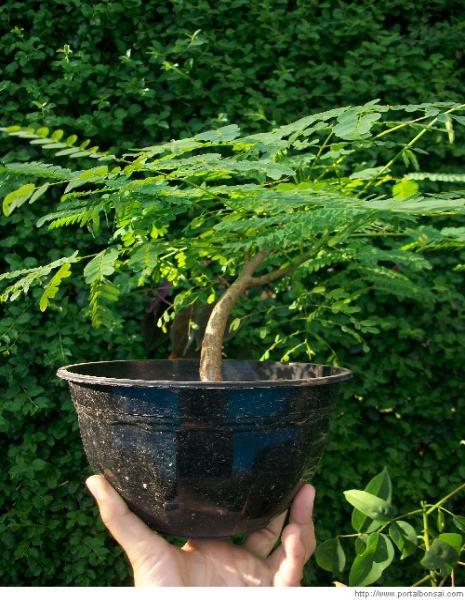 Royal Poinciana Bonsai : royal, poinciana, bonsai, Flamboyant, Information, Royal, Poinciana, Bonsai