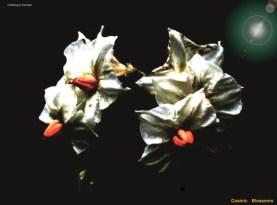 Cosmic Spud Blossoms