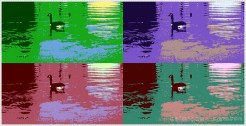 duck-in-colors