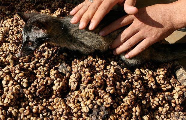 civet coffee beans weasel