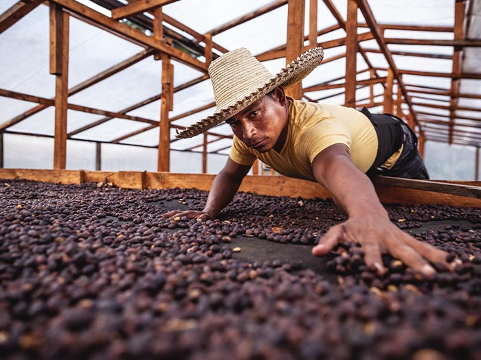 cafe kreyol organic coffee farmers 18 rabbit honduras 02
