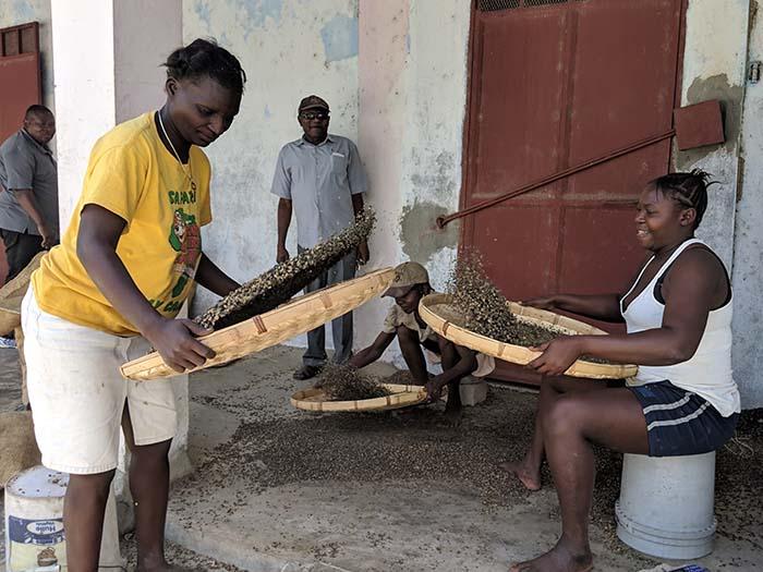 cafe kreyol organic coffee farmers COOPACVOD haiti 04
