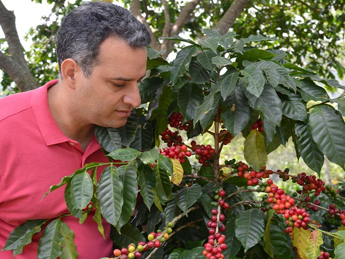 cafe kreyol organic coffee farmers Dominican Republic Ramirez Estate 01