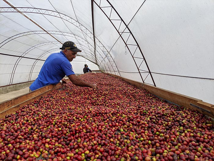 cafe kreyol organic coffee farmers Dominican Republic Ramirez Estate 05