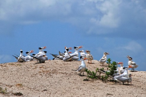 Royal tern chicks - waiting for lunch