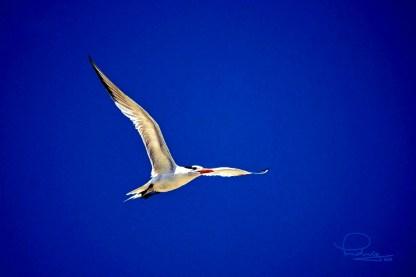 Royal Tern 2
