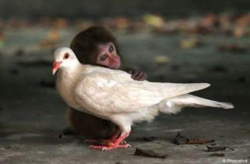 baby monkey hugging dove
