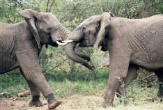 elephants-1355424_960_720