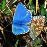 Adonis Blue (Lysandra bellargus) by Tom Lee