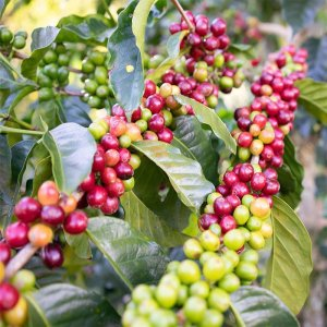 morgon_哥倫比亞_Finca El Porvenir 咖啡莊園