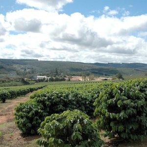 morgon_巴西_FazendaPrimavera咖啡樹