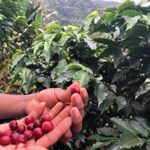 DROP_玻利維亞_卡梅利塔_咖啡樹