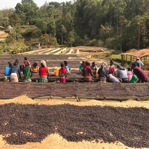FATHERS_COFFEE_衣索比亞咖啡日曬作業