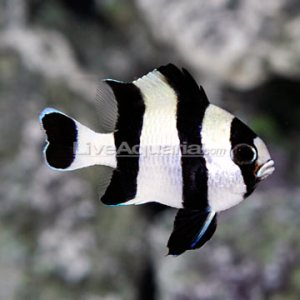 Striped Damselfish