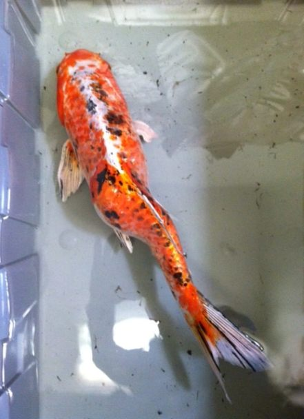 Koi with spinal deformity