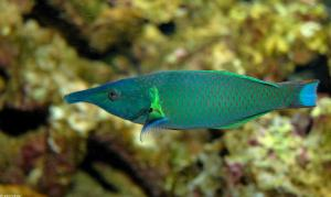 Male bird wrasse - courtesy of UCBerkeley