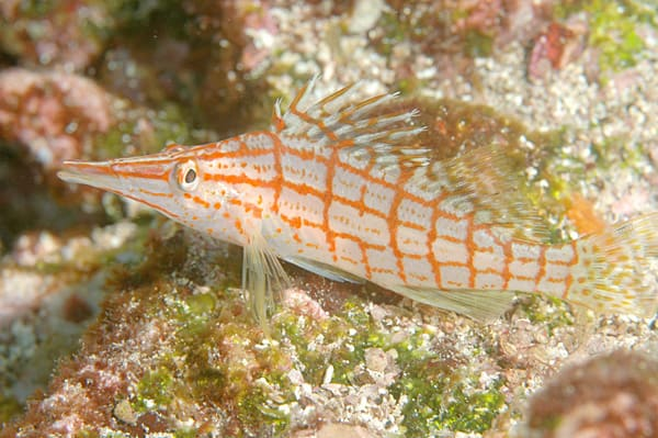 Fish of the Week: Longnose Hawkfish