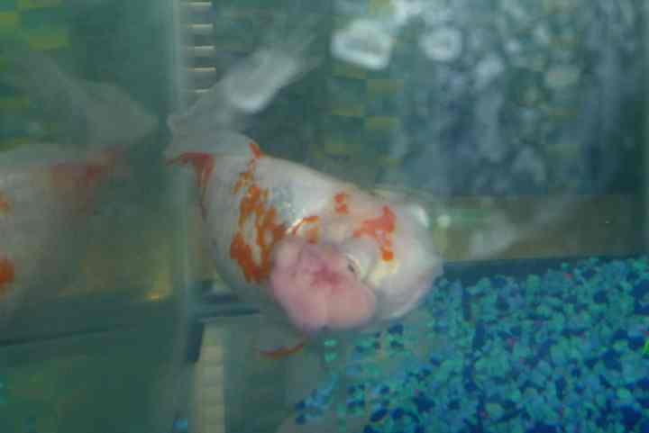 Fish of the Week: Goldfish with Eye Tumor