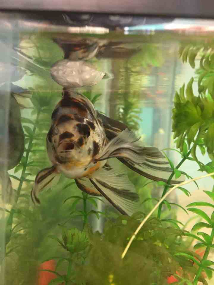 Fancy Goldfish Buoyancy Help