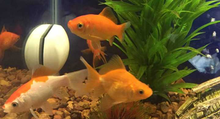 What do I feed my goldfish?