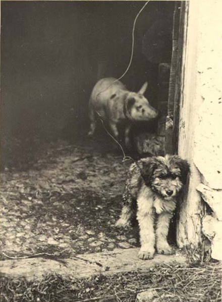 Portrait of a pig and a dog in a stall in Pasturo 1937